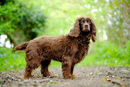 Hairy brown cocker spaniel on a woodland path