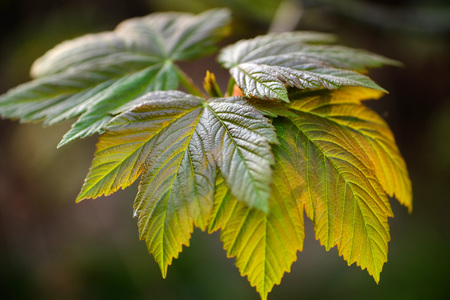 Close up of back lit sycamore leaves in spring