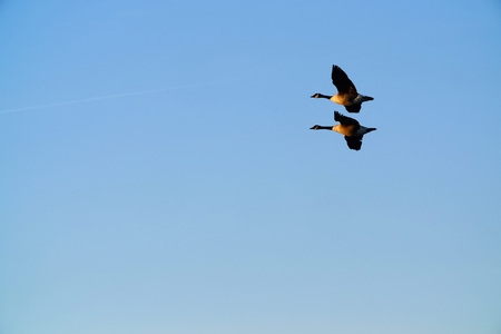 Two geese flying together with a evening sky Stock Photo