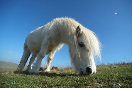 Small white pony grazing on grass downland