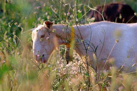 White goat eating grass in the Spanish Pyrenees