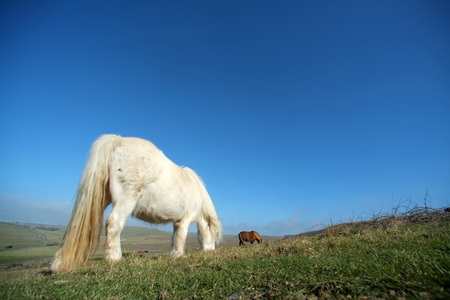 Small white pony grazing on grass downland