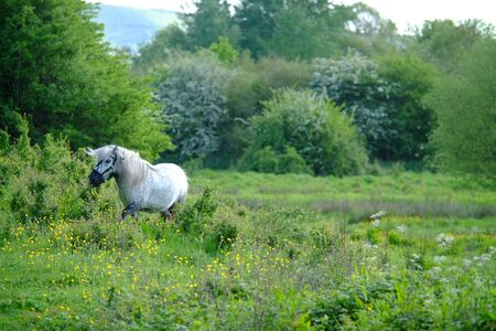 Small white pony in a meadow at sunset Stock Photo