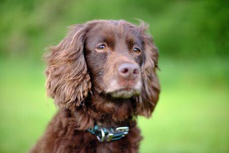 Portrait of a brown cocker spaniel dog Stock Photo
