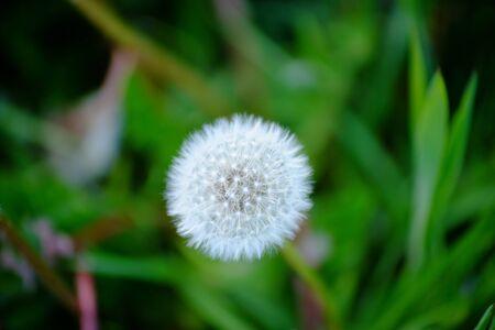 Dandelion seedhead in a meadow of grass