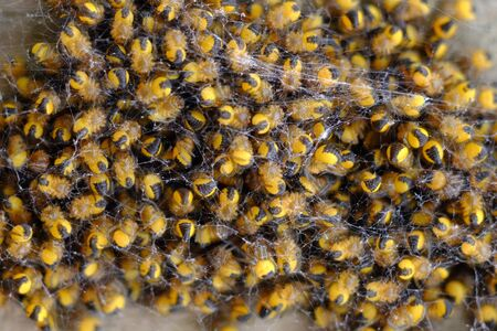 Close up of baby yellow and black gardens spiders Stock Photo