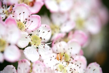 Close up of hawthorn blossom on a hedge