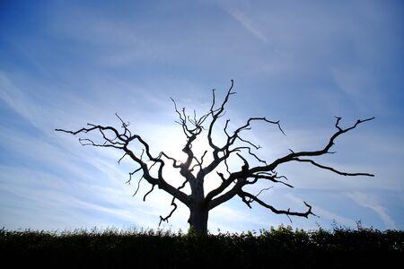 Silhouette of a dead oak treee on a sunny day