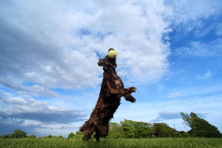 Brown dog jumping for a tennis ball in a field