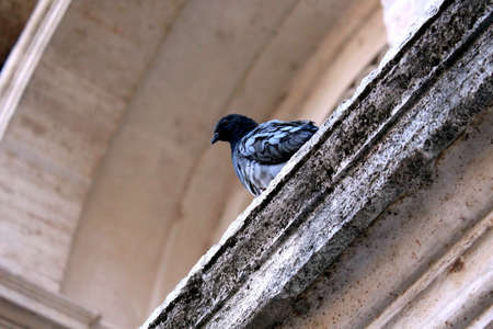 This photo was taken at a pigeon resting in Rome. The bird was located on the architectural structures of the Water Fountain Happy.