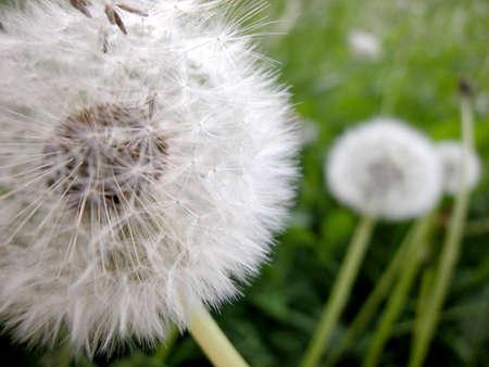 Macro of dandelion in spring field Stock Photo