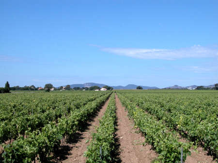 wineyard: Country landscape with wineyard and blue sky in south of France