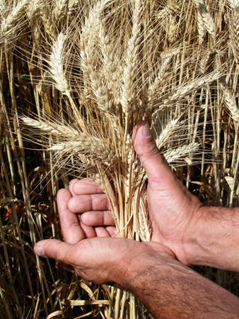 Farmer's hands holding wheat ears Stock Photo - 5087788