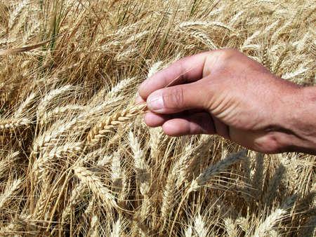 Farmers hand holding wheat ears