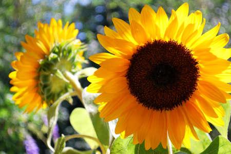Beautiful golden sunflower in summertime