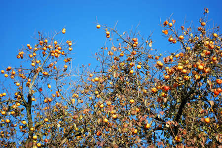 Persimmon tree with ripe orange fruits against blue sky