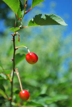 Red ripe cherries on the tree, free copy space