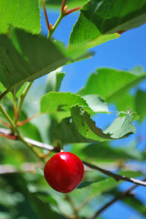 Red ripe cherry on the tree, free copy space