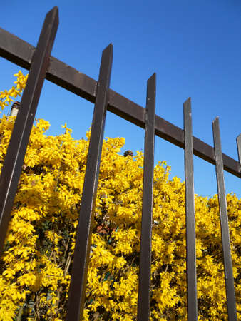 Yellow forsythia flowers behind the fence on blue sky photo