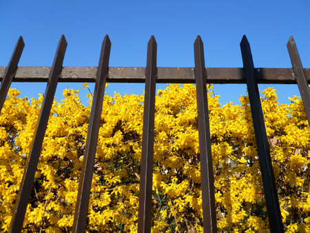 Yellow forsythia flowers behind the fence on blue sky Stock Photo - 9157971