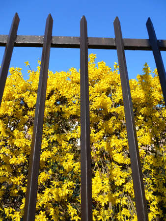 Yellow forsythia flowers behind the fence on blue sky Stock Photo - 9497507