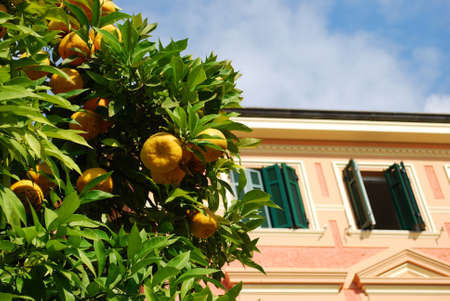 Pink house and orange tree, Spotorno, Liguria, Italy photo