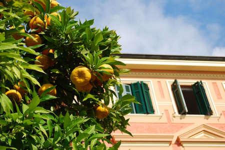 Pink house and orange tree, Spotorno, Liguria, Italy