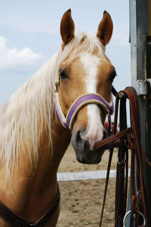 light brown horse: Haflinger light brown horse outdoor in natural light