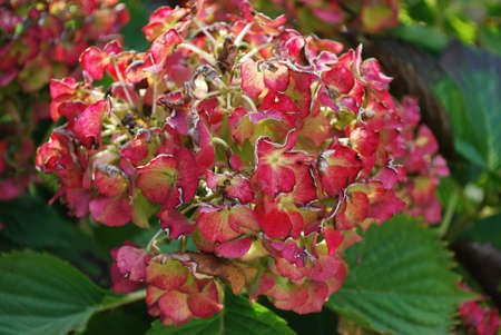 withering: Autumn red hydrangea withering in the garden