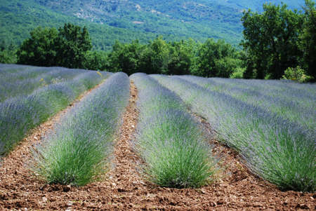 Lavender field landscape in Provence, France photo