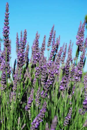 Lavender flowers blooming in a field in summer, Provence, France