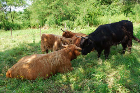 Brown Scottish cows in a green grass field in summer