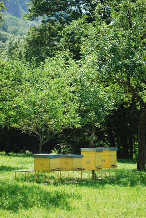 Yellow beehives for honey bees in a field surrounded by trees