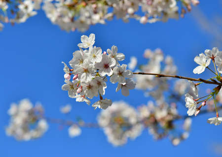 Japanese cherry tree blossom with blue sky in spring Stock Photo