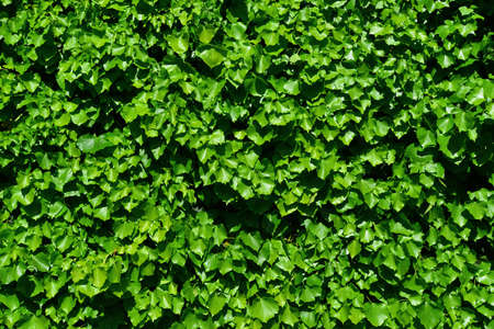 Ivy green leaves wall bakcgorund