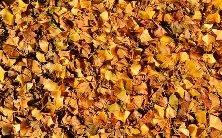 Gingko Biloba feuilles jaunes automne fond