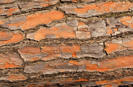Detail of Maritime pine bark as background