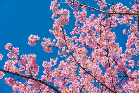 Spring Japanese cherry tree pink blossom against azure sky as background