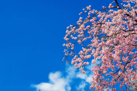 Spring in Japan. The famous cherry tree pink blossom against azure sky (with copy space)