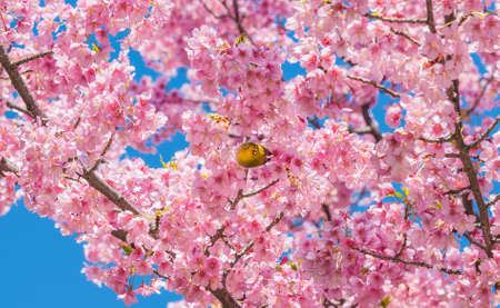 Warbling white-eye looks at you among Japanese pink cherry blossom in spring