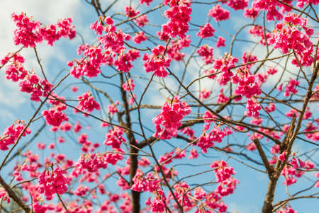 Spring Japanese Bellflower Cherry tree pink blossom against azure sky with clouds as background Reklamní fotografie