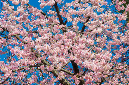 Spring in Japan. The famous cherry tree pink blossom against azure sky as background