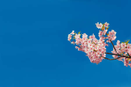 Spring in Japan. The famous cherry tree pink blossom against azure sky (with copy space) Reklamní fotografie - 120740245
