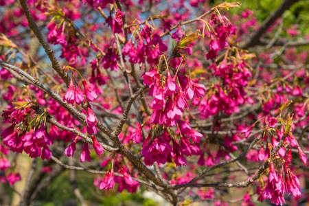 Spring Japanese Bellflower Cherry tree pink blossom as background Reklamní fotografie