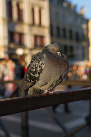 Pigeon in Saint Mark Square, a major problem for the city of Venice 版權商用圖片