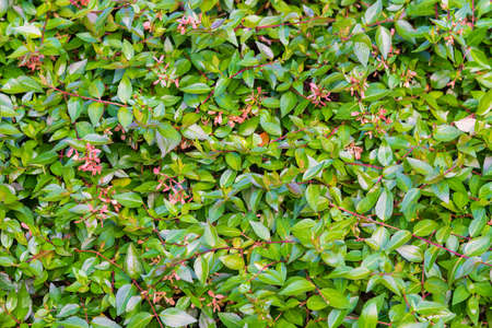 Green leaves hedge with pink flowers as background