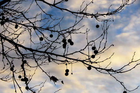 Bare branches platanus tree silhouette with winter sunset clouds as background Banco de Imagens
