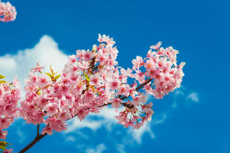 Spring in Japan. The famous cherry tree pink blossom against azure sky with clouds