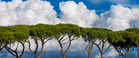 Green tree pines with white clouds as background Banco de Imagens