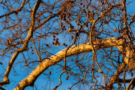 Detail of Winter platanus tree with bare branches against azure sky turns to gold at sunset as background